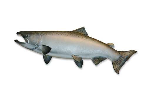 質感「King Salmon with Clipping Path」:スマホ壁紙(6)
