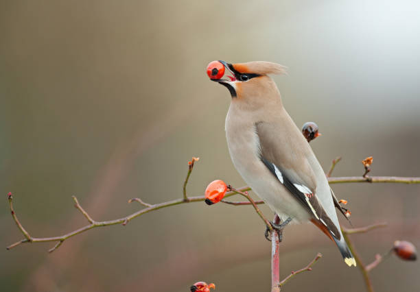 Bohemian waxwing perching on a dogrose:スマホ壁紙(壁紙.com)