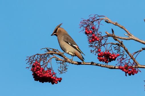 Bohemian Waxwing「Bohemian Waxwing (Bombycilla garrulus) feeding on mountain ash tree berries in winter」:スマホ壁紙(10)