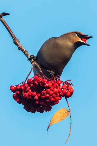 Bohemian Waxwing「Bohemian Waxing (Bombycilla garrulus) perched on a Mountain Ash tree eating red berries against a blue sky」:スマホ壁紙(12)