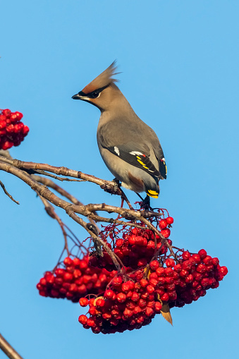 Bohemian Waxwing「Bohemian Waxing (Bombycilla garrulus) perched on a Mountain Ash tree with clusters of red berries against a blue sky」:スマホ壁紙(19)