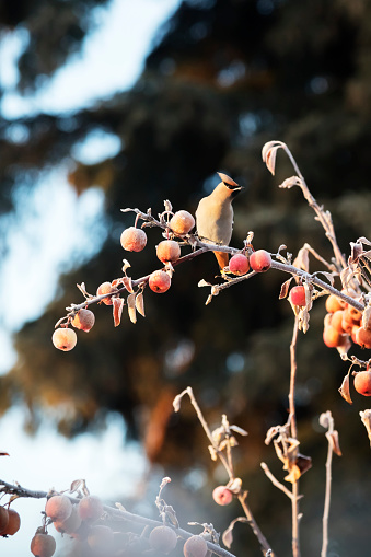 Bohemian Waxwing「Bohemian waxwing (Bombycilla garrulus) sits on a small tree of crab apples」:スマホ壁紙(7)
