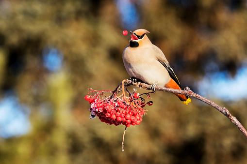 Bohemian Waxwing「Bohemian waxwing (Bombycilla garrulus) eating mountain ash berries in autumn」:スマホ壁紙(11)