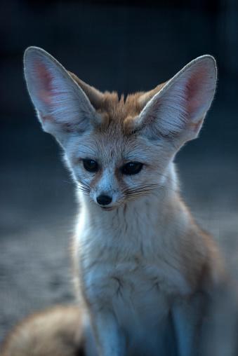 Animal Ear「Fennec Fox」:スマホ壁紙(5)