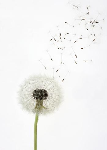 たんぽぽ「Seeds float up from dandelion seed head, on white」:スマホ壁紙(14)