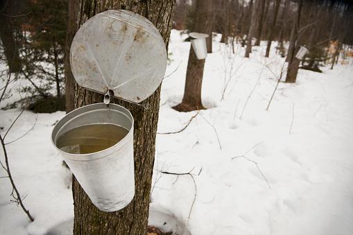 サトウカエデ「Collecting maple syrup on tree; Quebec, Canada」:スマホ壁紙(8)