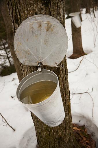 サトウカエデ「Collecting maple syrup on tree; Quebec, Canada」:スマホ壁紙(9)