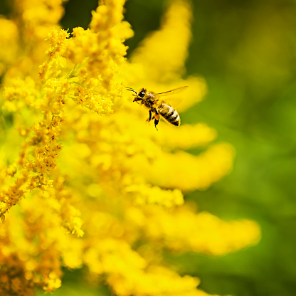 Working Animal「USA, Maine, Hope, Honey bee flying to yellow flower」:スマホ壁紙(13)
