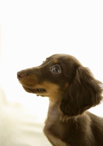 Dachshund「Wiener Dog (brown)」:スマホ壁紙(6)
