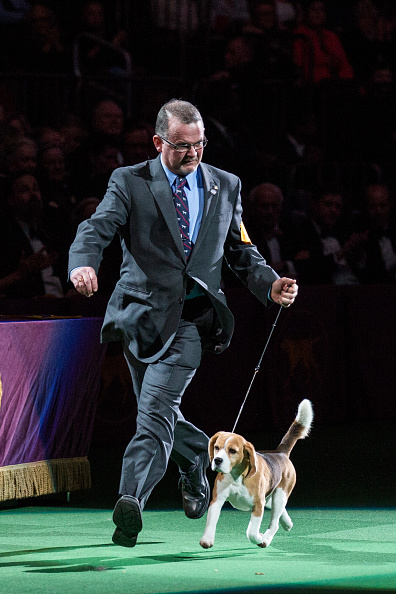 Andrew Burton「Dogs Compete In The 139th Annual Westminster Kennel Club Dog Show」:写真・画像(13)[壁紙.com]