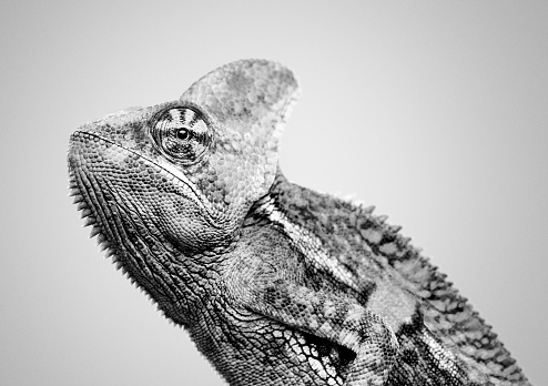 Making A Face「Cute chameleon profile black and white portrait」:スマホ壁紙(13)