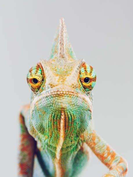Cute chameleon looking at camera:スマホ壁紙(壁紙.com)
