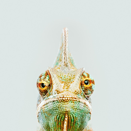 Animal Head「Cute chameleon looking at camera」:スマホ壁紙(7)