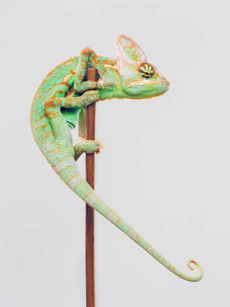 Cute chameleon climbing on white background:スマホ壁紙(壁紙.com)