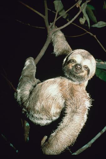 Three-toed Sloth「Three toed sloth」:スマホ壁紙(18)