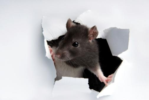 Rat「A rat poking its head through the wall」:スマホ壁紙(2)
