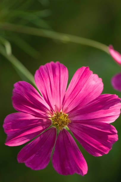 Bright Pink Cosmos Flower. Mexican aster:スマホ壁紙(壁紙.com)