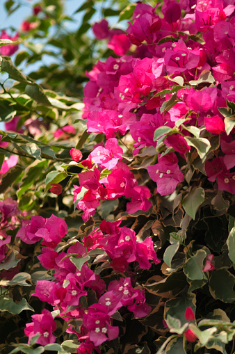Rockville - Maryland「Bright Pink Bracts and White Flowers on Bougainvillea Vine」:スマホ壁紙(18)