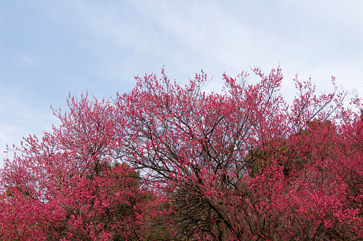 梅の花「Bright pink plum blossoms」:スマホ壁紙(8)