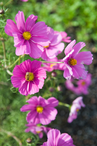 コスモス「Bright pink Cosmos with a honey bee」:スマホ壁紙(10)