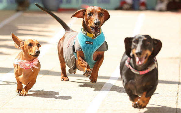Annual Event「Annual Dachshund Race Celebrates Start Of Oktoberfest In Australia」:写真・画像(11)[壁紙.com]