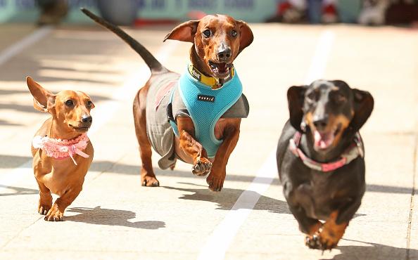 動物「Annual Dachshund Race Celebrates Start Of Oktoberfest In Australia」:写真・画像(11)[壁紙.com]
