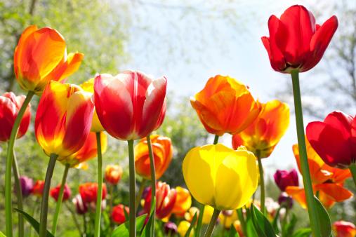 Tulip「Tulip (Tulipa gesneriana) garden」:スマホ壁紙(18)