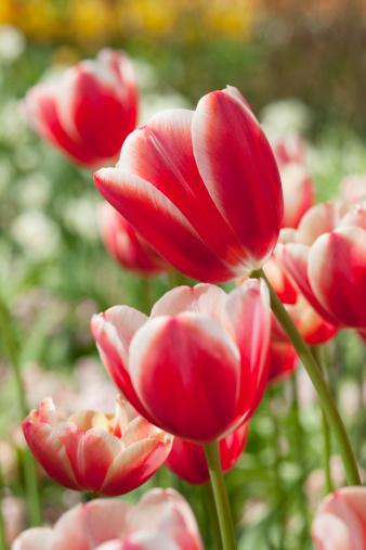 チューリップ「Tulip Garden」:スマホ壁紙(19)