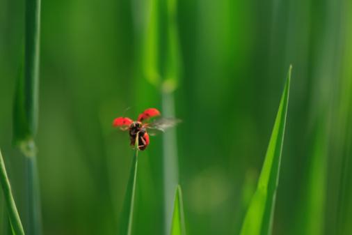 Ladybug「Ladybird on blade of grass, close-up」:スマホ壁紙(5)