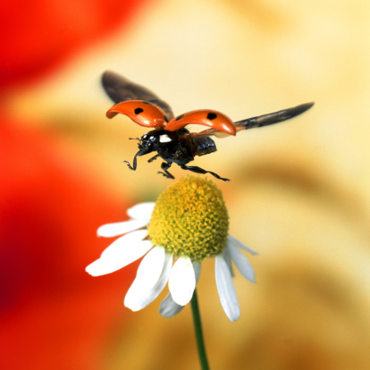 Ladybug「ladybird on flower」:スマホ壁紙(8)