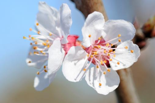 Apricot Tree「White apricot blossoms, Prunus armeniaca. San Jose, California, USA.」:スマホ壁紙(15)