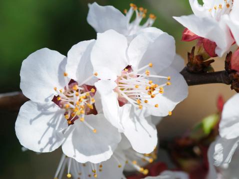 Apricot Tree「White apricot blossoms, Prunus armeniaca. San Jose, California, USA.」:スマホ壁紙(16)