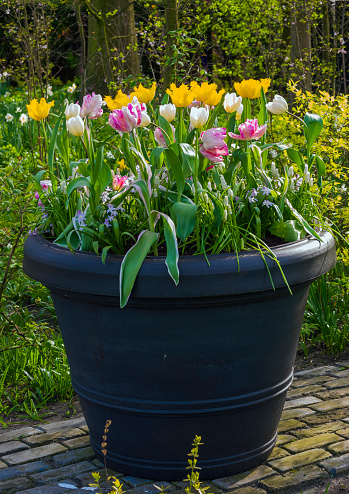 Keukenhof Gardens「Tulips (Tulipa) growing in large planter, Keukenhof, Lisse, Holland」:スマホ壁紙(18)