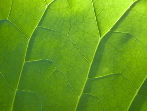 葉脈「macro view of a leaf's veins」:スマホ壁紙(3)