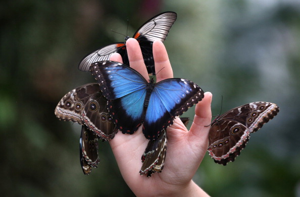 Butterfly - Insect「Gardener And TV Presenter Rachel de Thame Visits The Butterflies In The Glasshouse At RHS Garden Wisley」:写真・画像(8)[壁紙.com]
