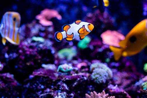 Clownfish「Clownfish in fish tank」:スマホ壁紙(13)