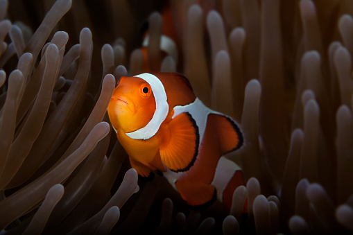 カクレクマノミ「Clownfish (Amphiprioninae) In Anenome」:スマホ壁紙(14)