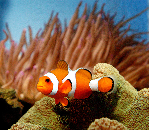 Fish「Finding Nemo Movie Causes Surge In Sales Of Clownfish」:写真・画像(1)[壁紙.com]