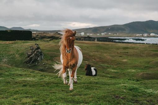 Horse「Brown Icelandic horse  on the meadow」:スマホ壁紙(18)