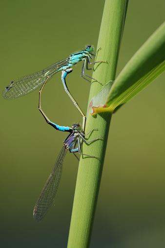 Dragonfly「Blue-tailed Damselfly」:スマホ壁紙(17)