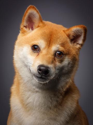 動物・ペット「純血種の日本芝犬」:スマホ壁紙(14)