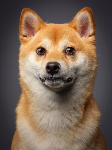 Eye「Purebred Japanese Shiba Dog」:スマホ壁紙(7)