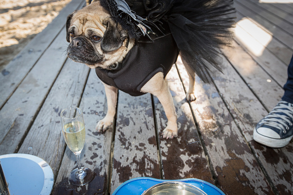 Wedding Reception「Rescued Pugs Marry At Charity Gala」:写真・画像(0)[壁紙.com]