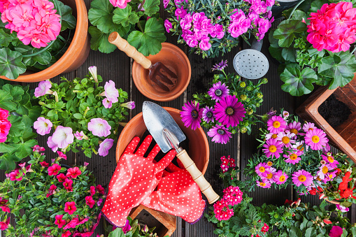 ペチュニア「Gardening, different spring and summer flowers, gardening tools on garden table」:スマホ壁紙(2)
