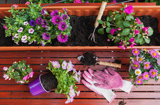 ペチュニア「Gardening, different spring and summer flowers, flower box and gardening tools on garden table」:スマホ壁紙(10)