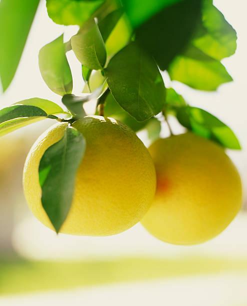 Lemons on branch:スマホ壁紙(壁紙.com)