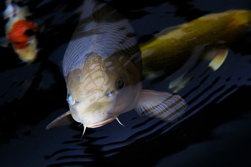 Carp「Koi Carp shot before feeding, Oxfordshire, England, United Kingdom」:スマホ壁紙(18)