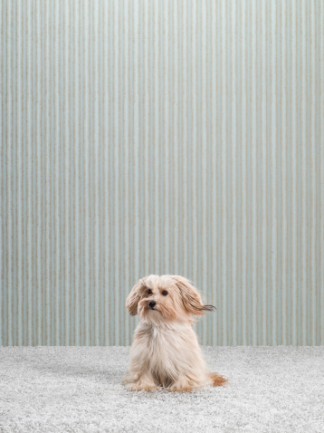 Mixed-Breed Dog「Terrier Mix on Carpet and Wallpaper」:スマホ壁紙(10)