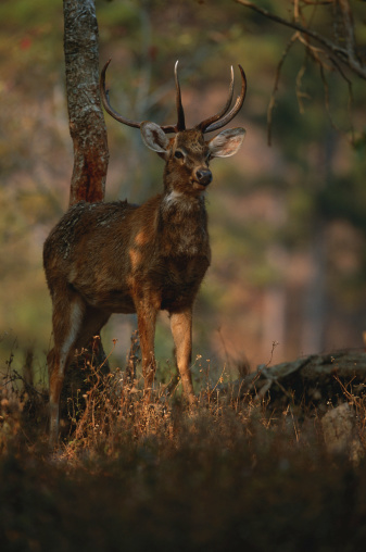 ケイブルラムジャオ国立公園「Brow-antlered deer (Cervus eldi eldi) standing, close up, Keibul lamjao N.P, India」:スマホ壁紙(3)