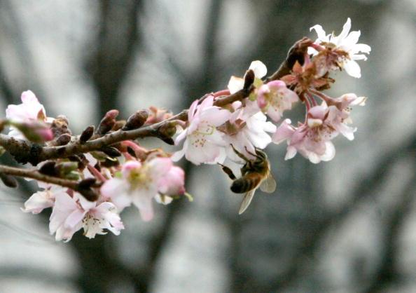 Bud「Cherry Tree Blooms Early Near U.S. Capitol」:写真・画像(13)[壁紙.com]